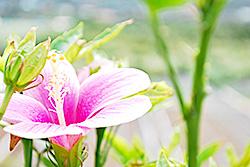今帰仁村ペンションGUSUKU 料金ページ 施設にはハイビスカスも咲きます。
