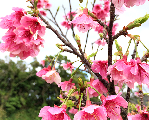 今帰仁の桜がキレイです