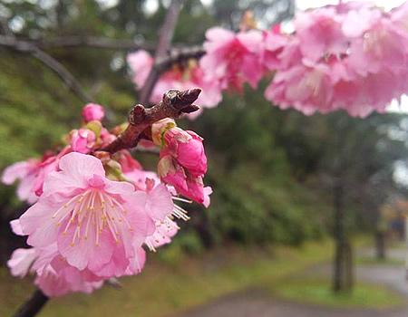 今帰仁村では桜が綺麗です