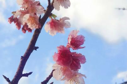 ペンションから近い今帰仁グスク桜まつり