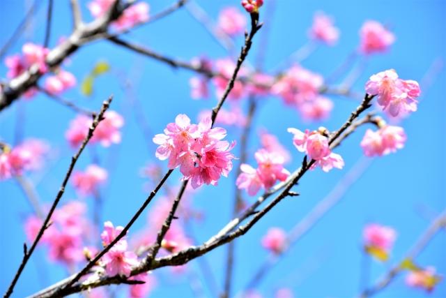 沖縄北部の桜